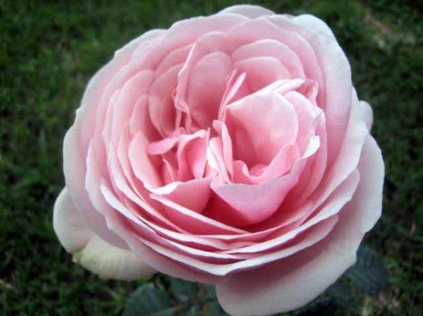 ROSE GARDEN APHRODITE