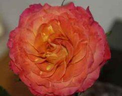 ROSE GARDEN SUNSET