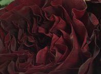 MAYRA RED