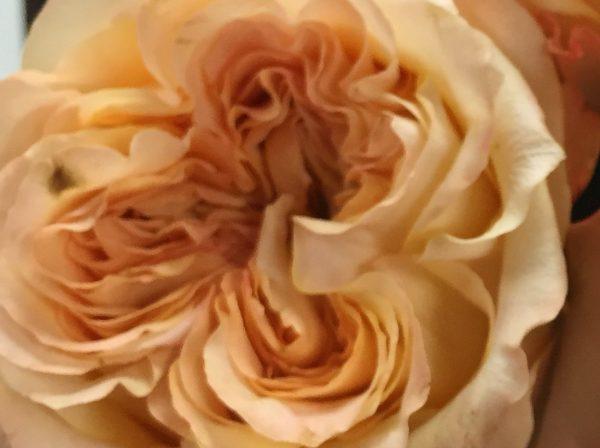 GARDEN ROSE WEDDING X-PRESSION