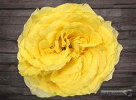 Yellow Campanella