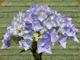 Hydrangea 80