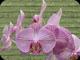 Orchids 80a