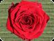 Rose 80
