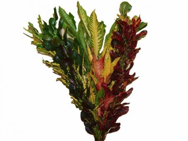 Croton – Assorted