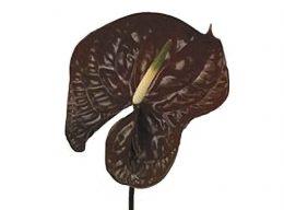 Chocolate Anthurium