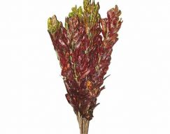 Croton – Red