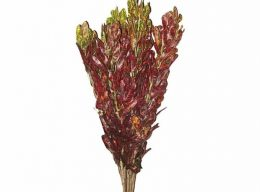 Croton – Red
