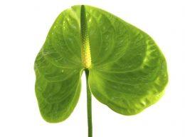 Midori Green Anthurium