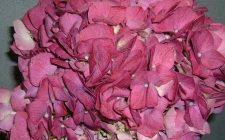 Pink Elite Hydrangea