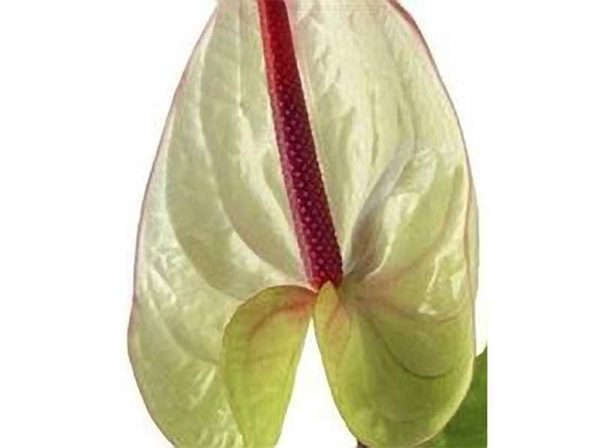 White Obake Anthurium