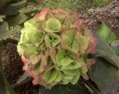 Antique Green Hydrangea