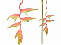 Heliconia – Hanging Sexy Pink