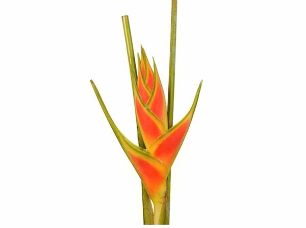 Heliconia – Upright Yellow