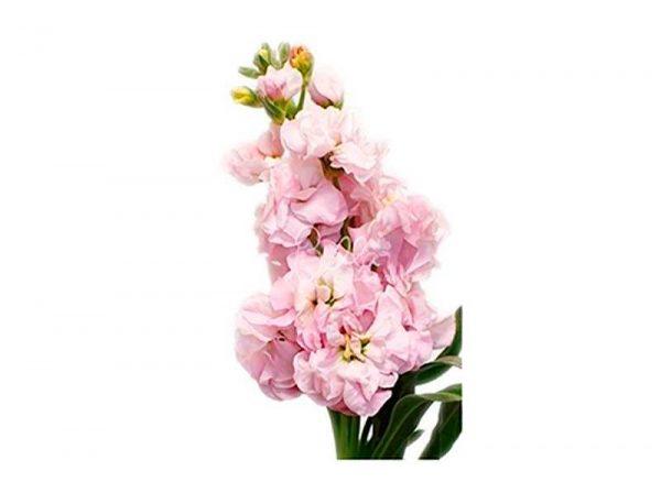 Light Pink Stock