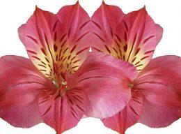 Hot Pink Alstroemeria