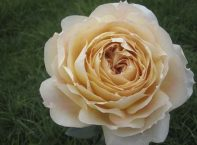 ROSE GARDEN CARAMEL ANTIQUE