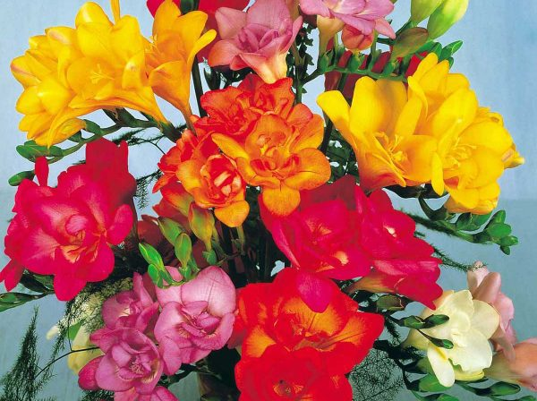 Allure Freesia