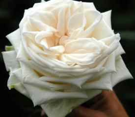 WHITE OHARA