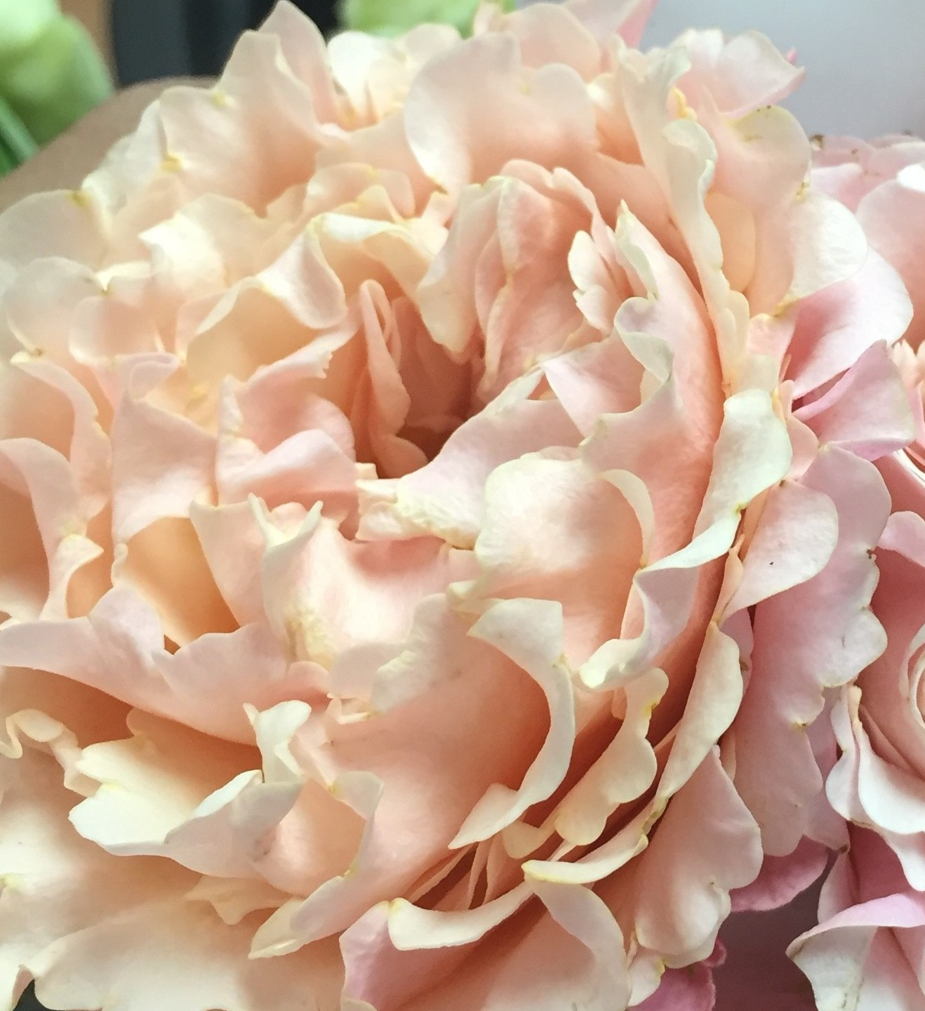 Peach Garden Rose mayras peach – allure farms