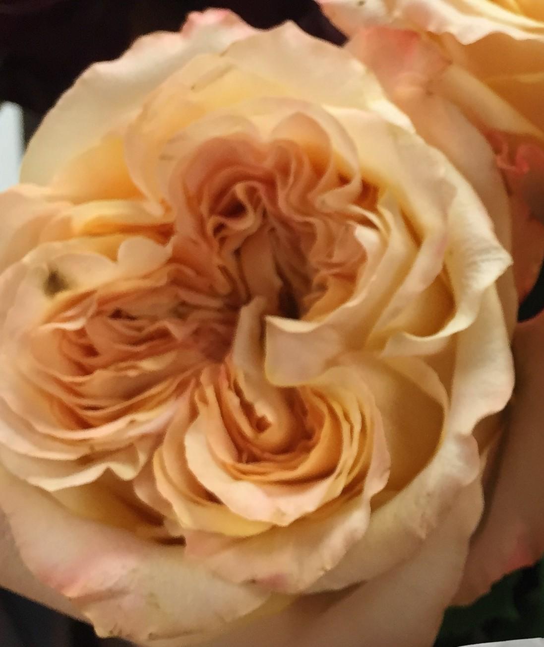 GARDEN ROSE WEDDING X PRESSION