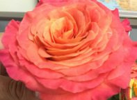 Sunset Garden Rose