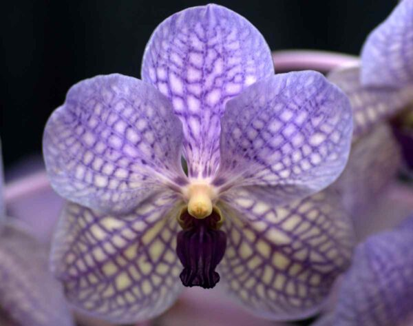 Vanda_Rothschildiana_Pacific_Orchid