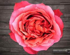 Hot Pink Campanella