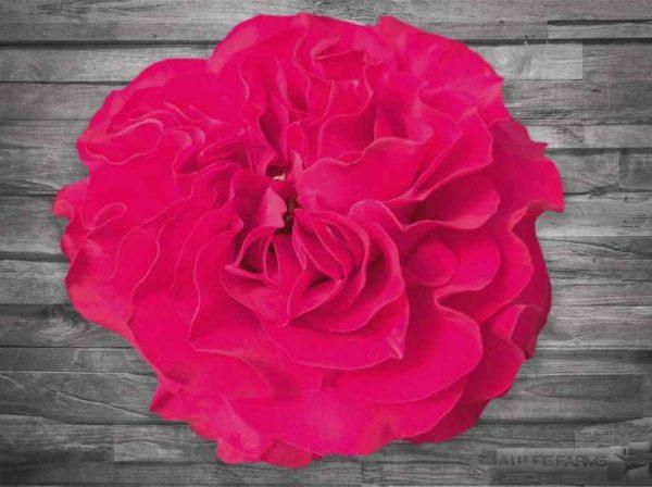 Bright Pink Mayras