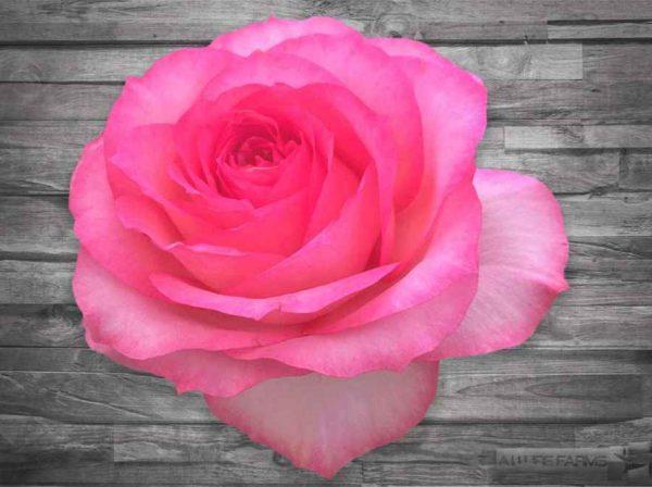 Fantasy Pink Mayras