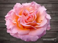 Peach/Pink Mayras