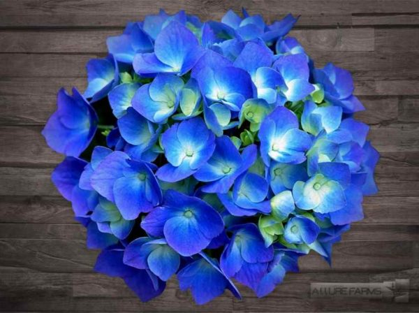 Shocking Dark Blue Hydrangea