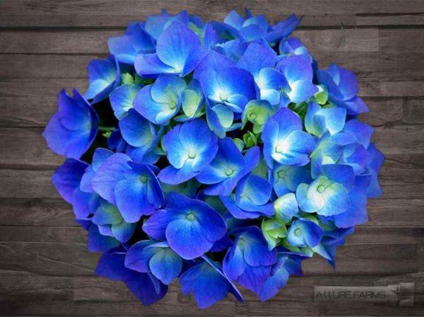 Shocking Dark Blue Hydrangea