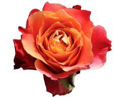 3D Rose