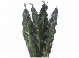 Anthurium Renaissance Leaf