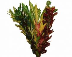 Croton – Assorted