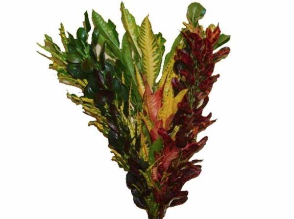 Assorted Croton
