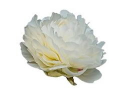 Bowl Of Cream Peony