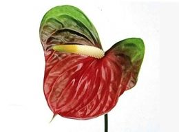 Green Obake Anthurium