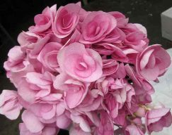 Beautensia Pink Hydrangea