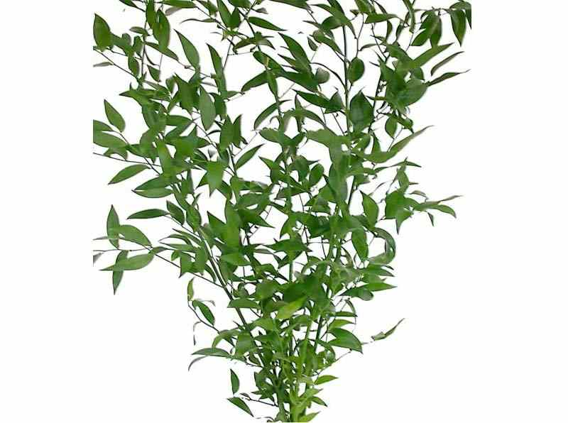 Italian Ruscus Allure Farms