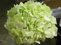 Jumbo Lime Green Hydrangea