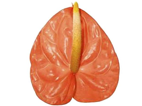 Orange Anthurium