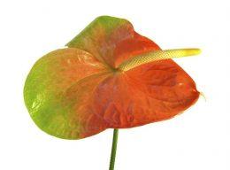 Orange Obake Anthurium