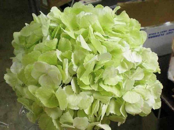 Pale Green Hydrangea