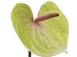 Pistachio Green Anthurium