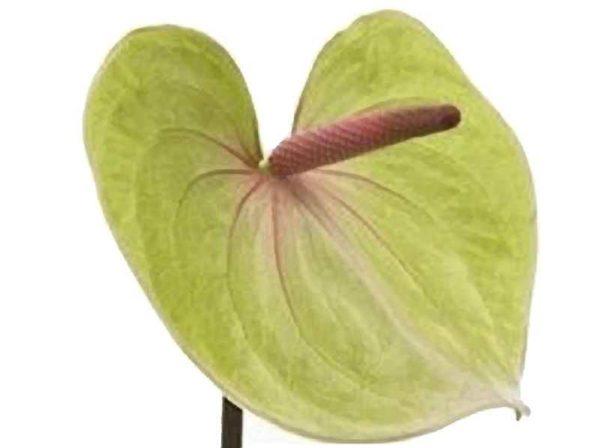 Pistachio Green Anthurium