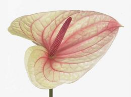 Salmon Anthurium