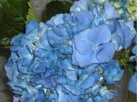 Shocking Blue Hydrangea