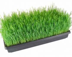 Wheat Grass – Tray